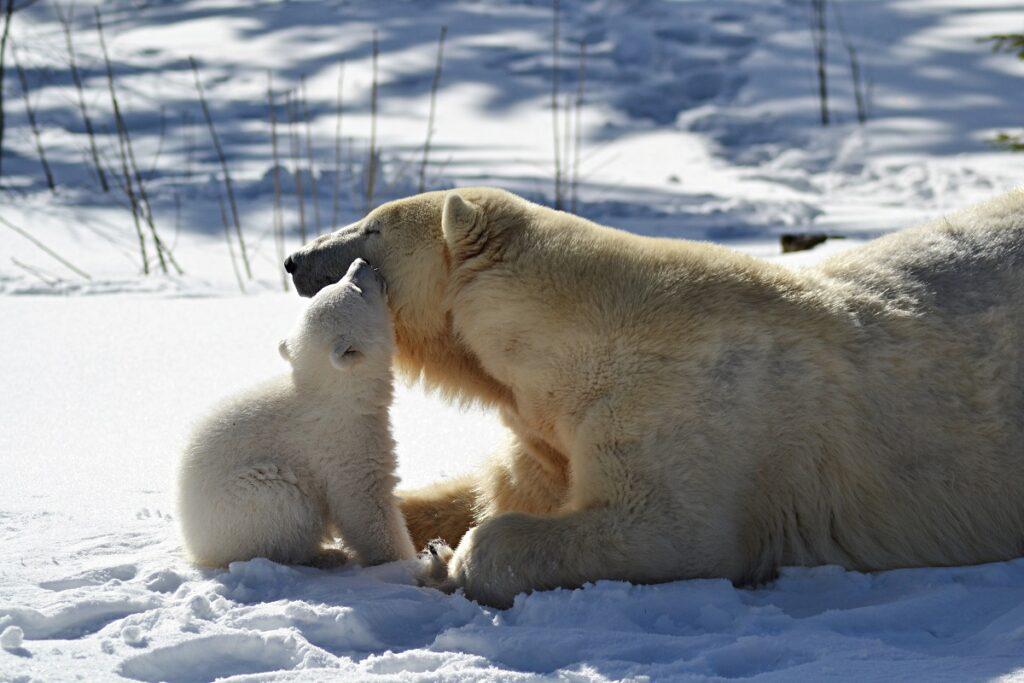 ijsberenjong orsa rovdjurspark