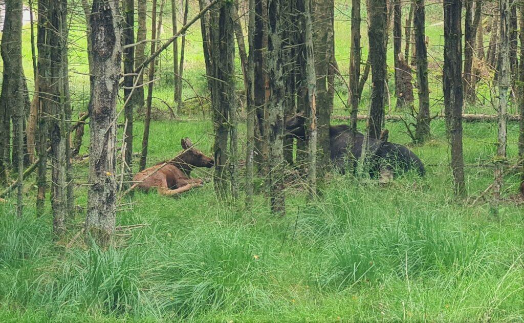 elanden zien in Zweden