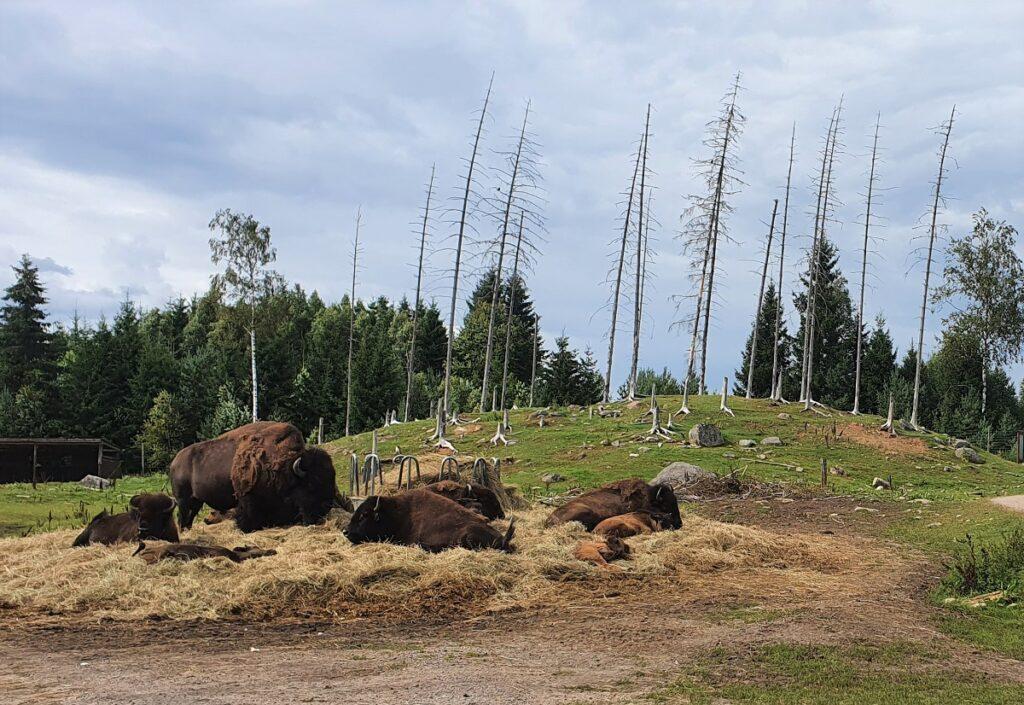 buffels in elandenpark in Zweden